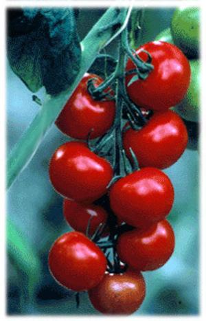 Vinetomatoes